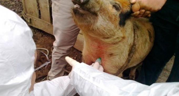 Parral: Se intensifican acciones de vigilancia en cerdos